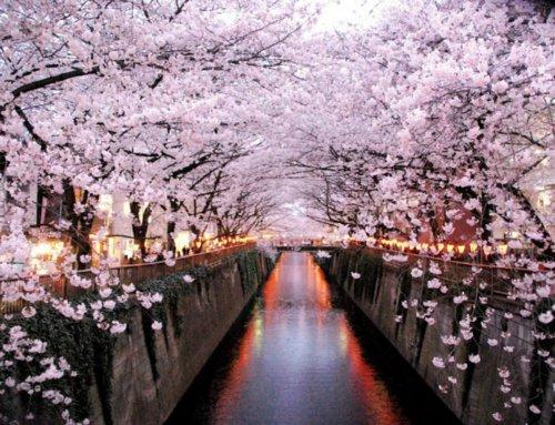 I 5 posti migliori per la fioritura dei ciliegi a Tokyo Sakura è un'esperienza che andrebbe fatta almeno una volta nella vita, ecco dove ammirarla a Tokyo