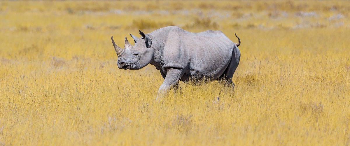 Rinoceronte nella savana