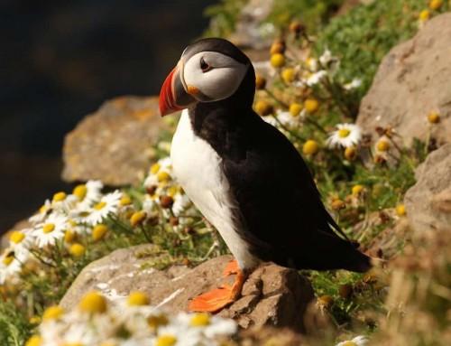 Pulcinella di mare: l'uccello del nord L'uccello marino fedelissimo in amore