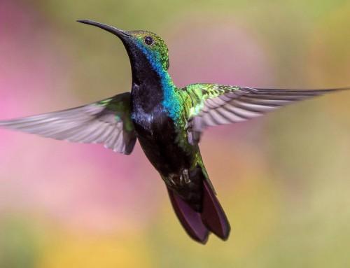 Colibrì: gli uccelli più piccoli al mondo Piccoli uccelli da record