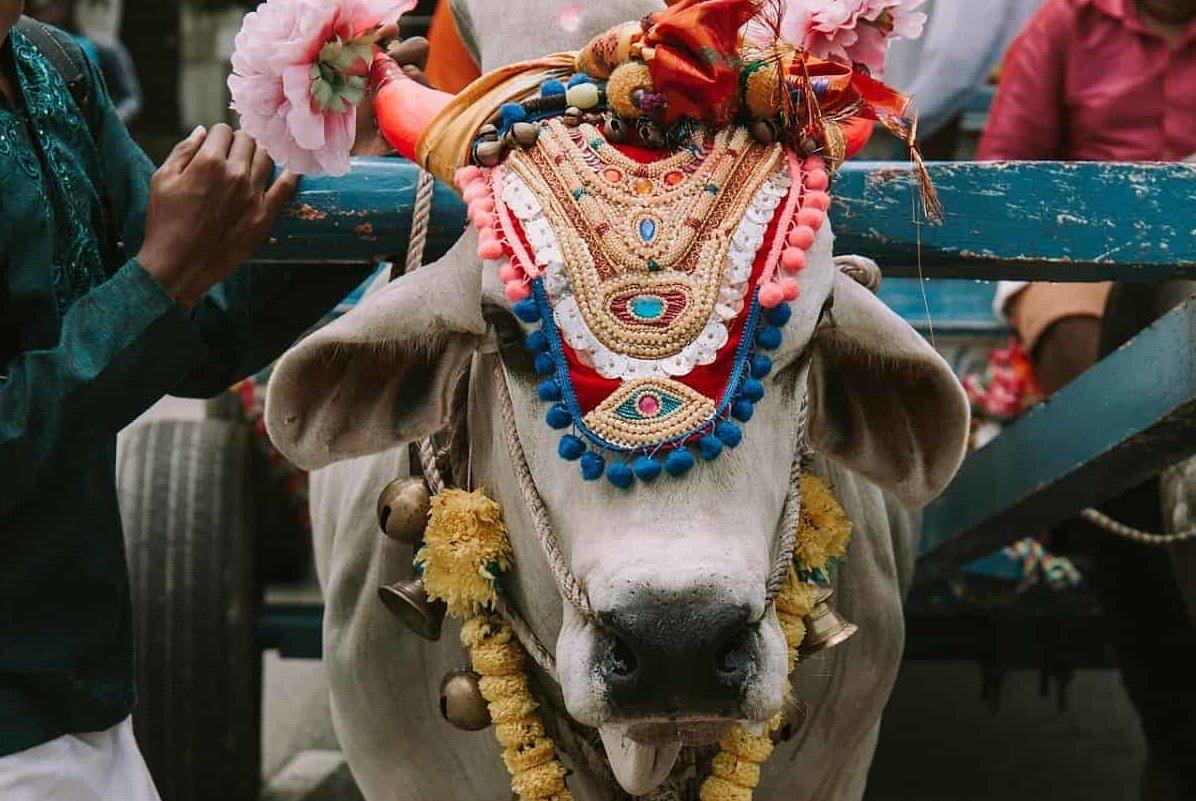 Mucca Sacra in India: tradizione e cultura Le curiosità sulla protezione della mucca in passato e oggi