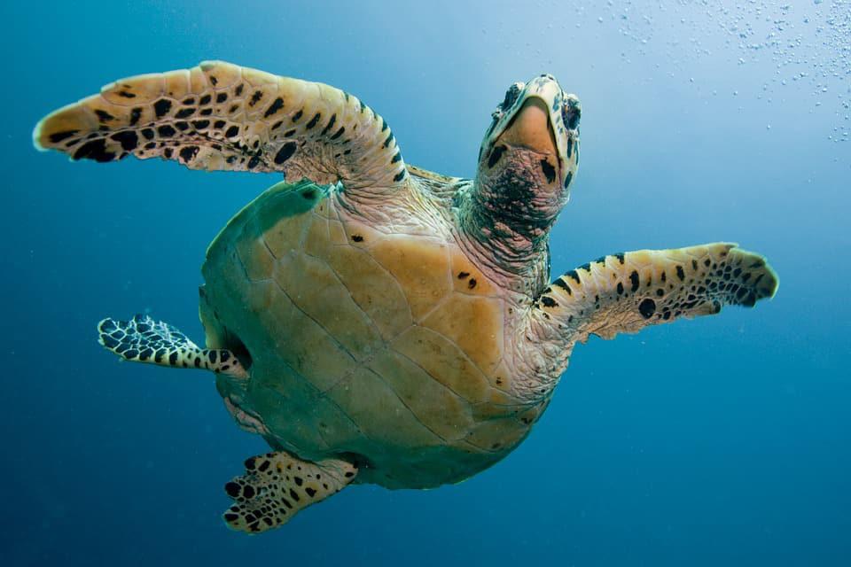 Tartarughe marine: caratteristiche e procreazione Grandi viaggiatrici fin dalla nascita