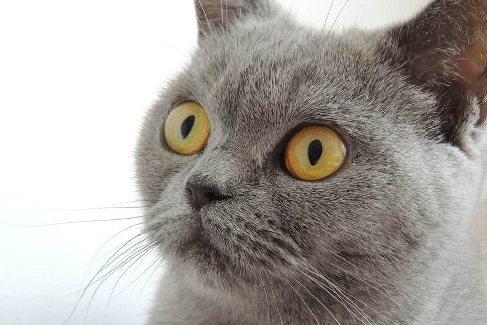 Gatto domestico in Italia: amico fidato di molti Il gatto è un animale domestico davvero molto diffuso in Italia