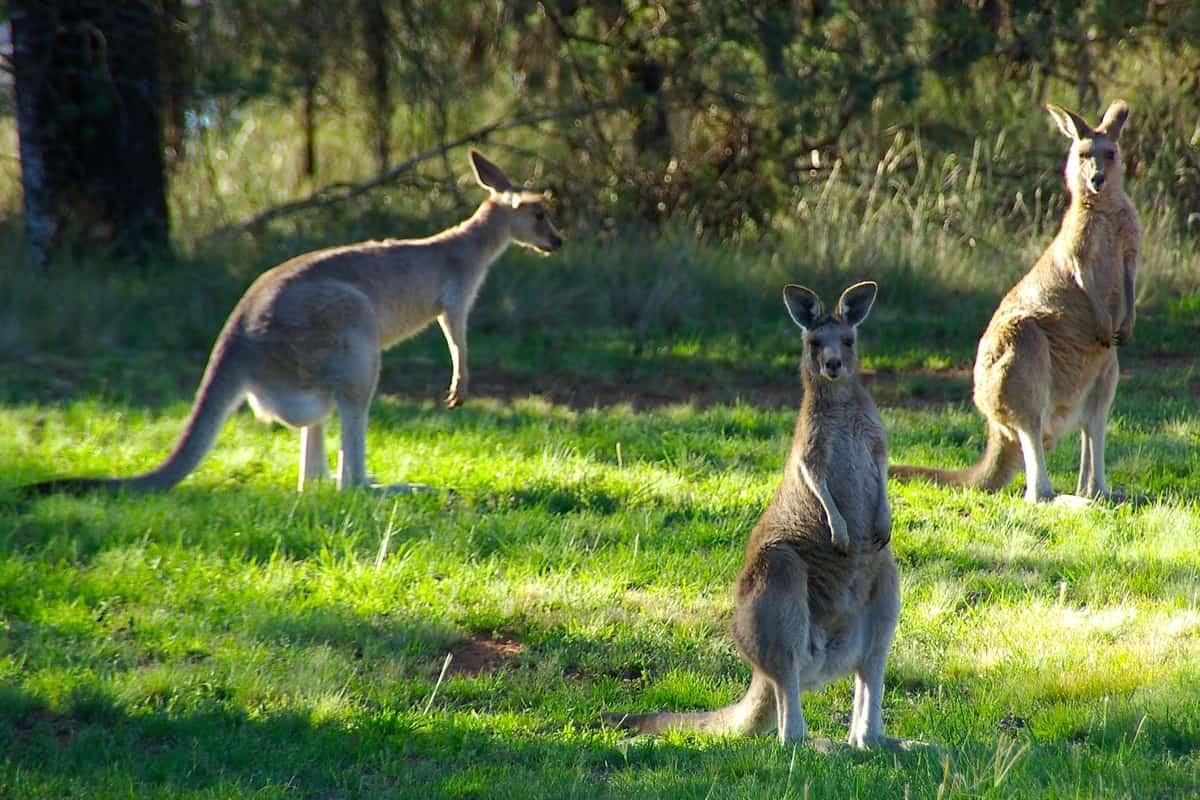 Animali australiani: non solo canguri L'Australia ha varietà di specie unica in tutto il mondo