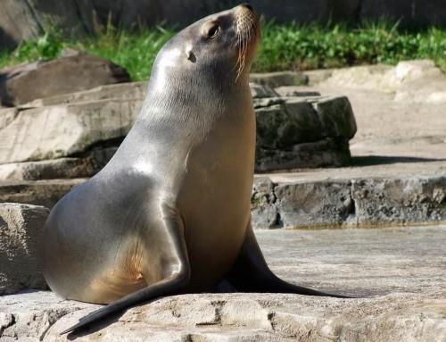 Leone marino: descrizione e curiosità Il Re dei mari